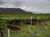 cultivo-de-maracuya-1