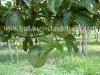 cultivo-de-maracuya-3