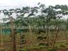 cultivo-de-maracuya-4