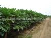 cultivo-de-maracuya-5