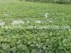 cultivo-melon-1