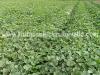 cultivo-melon-2
