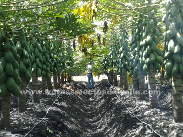 Cultivos de papaya de Frutas Selectas del Valle